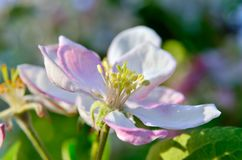 Young apple-tree flowers in the spring garden.  Stock Photo