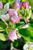 Young apple-tree flowers in the spring garden.  Royalty Free Stock Image