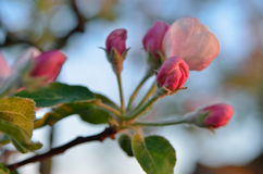 Young apple-tree flowers in the spring garden Royalty Free Stock Images