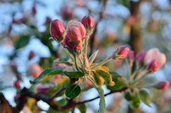 Young apple-tree flowers in the spring garden Royalty Free Stock Photo