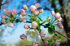 Young apple-tree flowers in the spring garden Stock Image