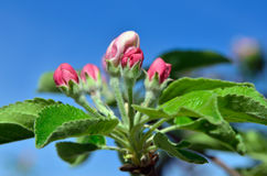 Young apple-tree flowers in the spring garden Royalty Free Stock Photos