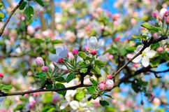 Young apple-tree flowers in the spring garden Stock Photo