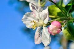 Young apple-tree flowers in the spring garden Stock Photography