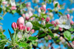 Young apple-tree flowers in the spring garden Stock Photos
