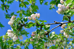 Young apple-tree flowers in the spring garden Royalty Free Stock Image