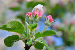 Young apple-tree flowers in the spring garden Stock Images