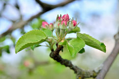 Young apple-tree flowers in the spring garden Royalty Free Stock Photography