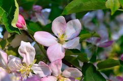 Young apple-tree flowers in the spring garden.  Royalty Free Stock Photos