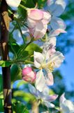 Young apple-tree flowers in the spring garden.  Stock Photography