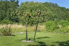 Young apple tree Royalty Free Stock Images