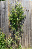 Young Apple. Tree growing in wooden garden fence Royalty Free Stock Photography