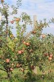 Apple Tree with Stakes Stock Photos