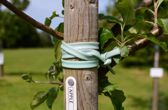 Young apple tree staked in an orchard. Detail of young apple tree tied and staked for support in an orchard Stock Photos