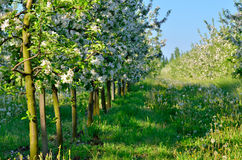 Young apple trees blooming in the spring garden Royalty Free Stock Photo