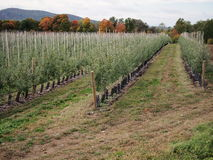 Young Apple Trees Stock Photo