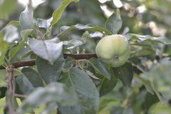Young Apple on a twig hanging royalty free stock images