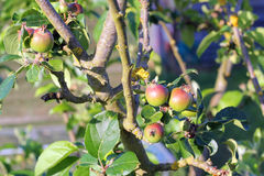Young apples growing on tree. Royalty Free Stock Image