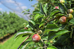 Young apples in an orchard during spring Stock Images