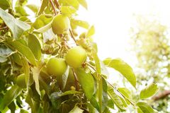 Young apples ripen under the rays of the June sun. stock image