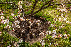Young apricot tree in blossom Royalty Free Stock Photos