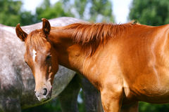 Young arab colt Royalty Free Stock Photo