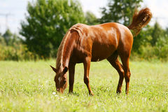 Young arab colt grazing. On field royalty free stock photos