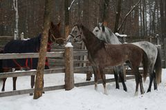 The young Arabian colt and adult arabian gelding ran to get acquainted with the mare  over the paddock`s fence in winter. Mare in blanket royalty free stock photos