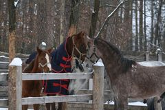 The young Arabian colt ran to get acquainted with the mare and foal. Over the paddock`s fence in winter stock images