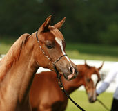 Young Arabian horse. Beautiful brown Arabian horse with white markings on face stock photo