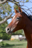 Young arabian horse canter on summer meadow Royalty Free Stock Photos