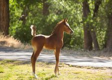 Free Young Arabian Horse Colt Standing With It`s Tail Straight Up In The Air Royalty Free Stock Photo - 122321885