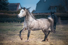 Young Arabian horse in a playful mood on paddock background Stock Images