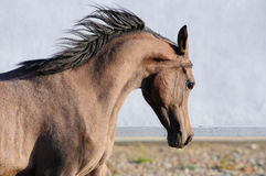 Young Arabian horse runs gallop, portrait Stock Images