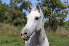 Young arabian horse standing on pasture summertime Royalty Free Stock Images