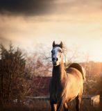 Young arabian horse at sunset on country background Royalty Free Stock Photo