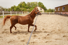 Young arabian horse Royalty Free Stock Photography