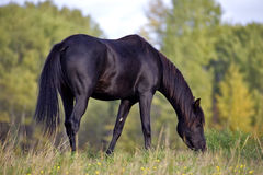 Young Arabian Mare grassing Stock Images