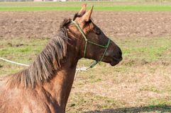 Young arabian purebred horse in training stock photo