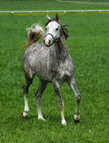 Young arabian stallions Stock Photo
