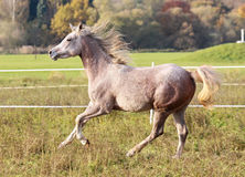 Young Arabian Thoroughbred Royalty Free Stock Images