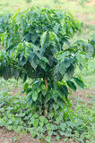 Young arabica coffee plantation. In field Royalty Free Stock Images
