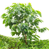 Young arabica coffee plantation. Isolated on white background Royalty Free Stock Images