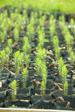 Young Araucaria Trees. Young Araucaria Tree in Nursery Bags Stock Images