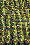 Young Araucaria Trees. Young Araucaria Tree in Nursery Bags Stock Photos