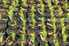 Young Araucaria Trees. Young Araucaria Tree in Nursery Bags Stock Photo