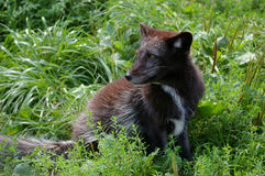 Young arctic fox Royalty Free Stock Photography