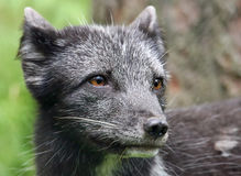 Young Arctic Fox - Vulpes lagopus Stock Photography
