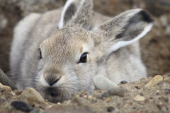 Young Arctic Hare Royalty Free Stock Photography