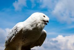 Young arctic snow owl marking its territory high up in the sky. White royalty free stock images
